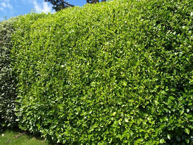 Dense, bushy and bright, Griselinia Littoralis makes a first-class traditional garden hedge. It will easily – and relatively quickly – reach the 2m height and will eventually achieve an imposing 6m. – and it is as hardy and drought resistant as it is unfussy and easy-to-maintain