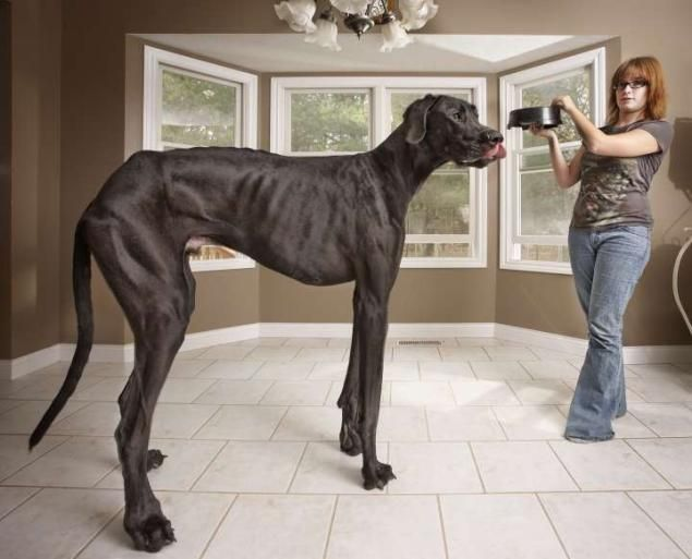 A 3 year-old Great Dane named Zeus from Otsego, Michigan is listed by the Guinness World Records as the tallest dog ever, measuring 111.8 cm (44 in) from foot to withers. He is seen here with his owner, Denise Doorlag. Can you imagine?