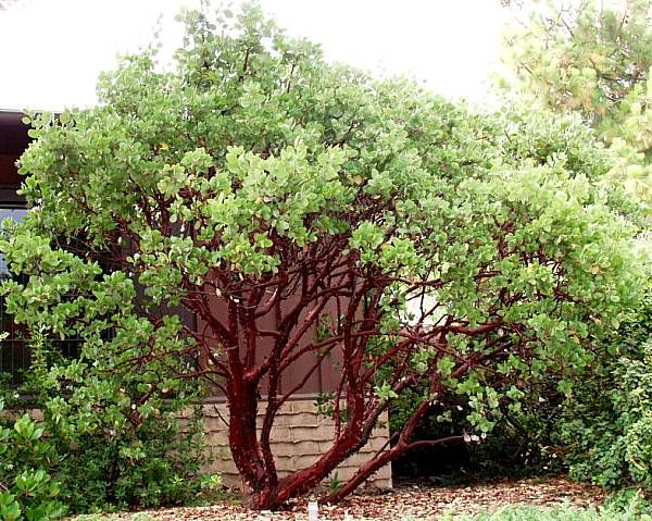 60 best arctostaphylos images on pinterest native for Drought tolerant trees