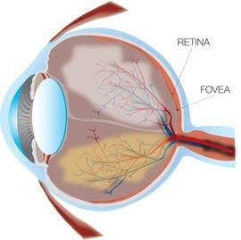 Imagen de la anatomía del ojo.