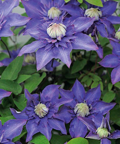 Plamének ´Multi Blue´. Clematis. Plnokvětý, tmavě modrý klematis. Plaménky kvetou na loňském dřevě, proto je nezkracujte na jaře, ale až po odkvětu! Stanoviště: slunce - polostín, doba kvetení: červenec -říjen, výška: 2 - 3 m.