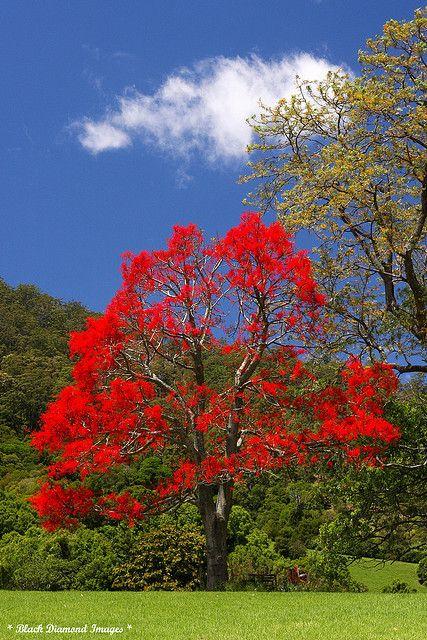 Brachychiton acerifolius - Illawarra Flame Tree, Flame Tree - Black Diamond Images