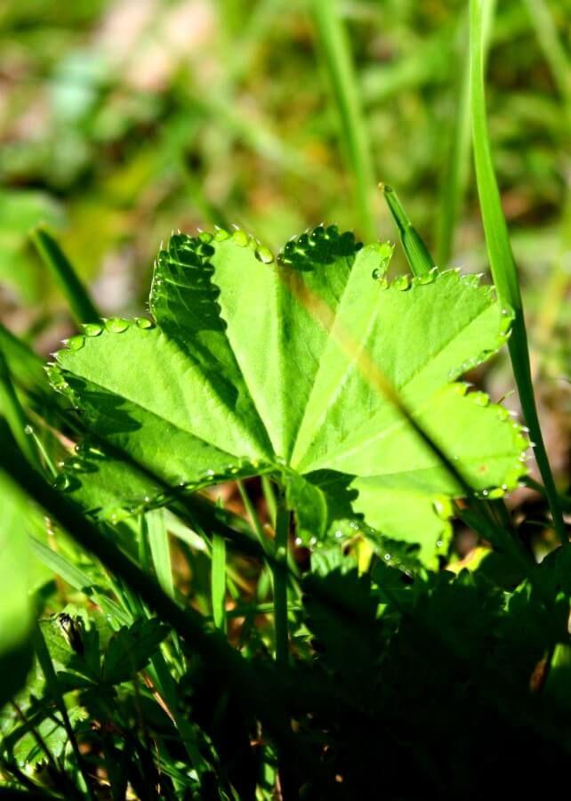 Przywrotnik pospolity, Alchemilla vulgaris. Alpenpark Karwendel