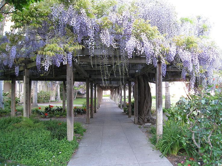 These will be everywhere in my backyard escapeOld House, Gardens Ideas, Beautiful, Gardens Structures, Outdoor Gardens, Wisteria Arbors, Santa Clara, Wisteria Lane, Outdoor Projects