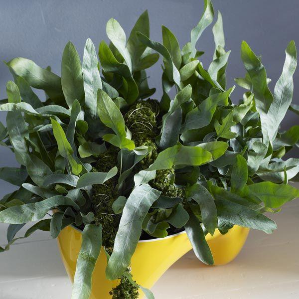 Blue Star Fern, Gold Foot Fern (Phlebodium aureum) | My Garden Insider