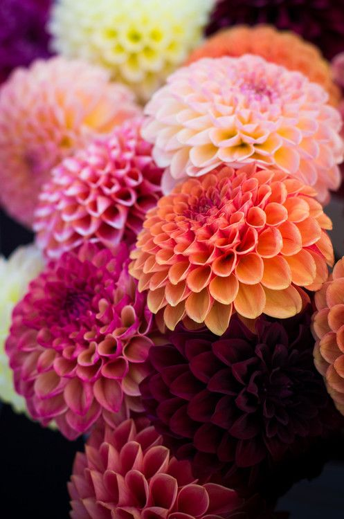 Dahlias - Comes in a wide variety of colors, stands up to heat or cold, and are relatively inexpensive. Great wedding flower!