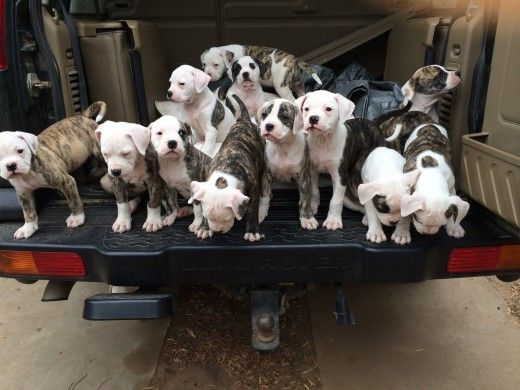 If this truck of American Bully babies showed up in my driveway...I'd die of happiness overload
