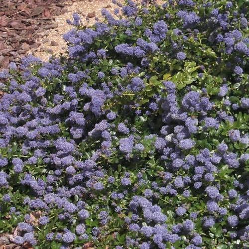 Lilás da Califórnia - Belíssima e abundante floração azul em Maio/Junho. As flores deste lilás de california têm um aroma a mel muito agradável. Este arbusto atapetado é um excelente e resistente cobre-solos, com uma folhagem brilhante verde escura.
