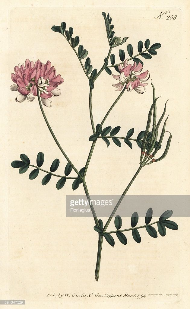 Purple crown vetch, Securigera varia (Purple coronilla, Coronilla varia). Handcoloured copperplate engraving by Sansom after an illustration by Sydenham Edwards from William Curtis' Botanical Magazine, London, 1794.