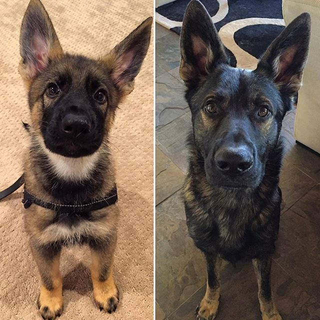 Can T Believe One Year Makes Such A Huge Difference Tahoe Gsds