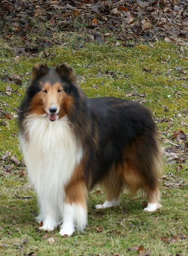 Smooth Collie dog photo | rough collie breeders, rough collie breeders canada, rough Collies