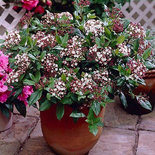 Viburnum tinus gwenllian laurier tin jeune plante en godet for Catalogue plantes et arbustes