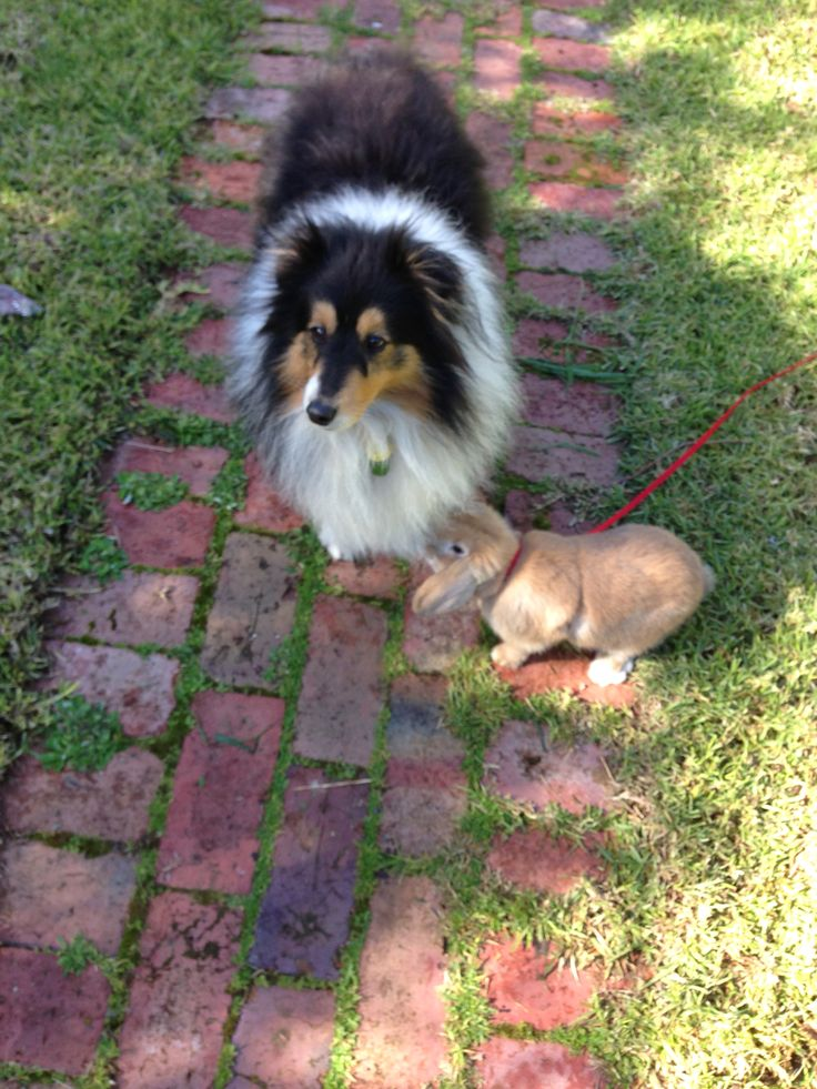 Flynn the sheltie and his friend Ollie