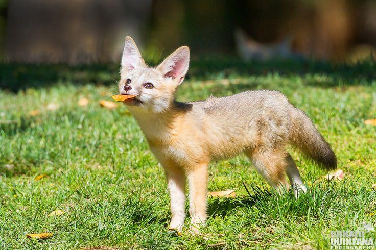 Even foxes love Doritos.