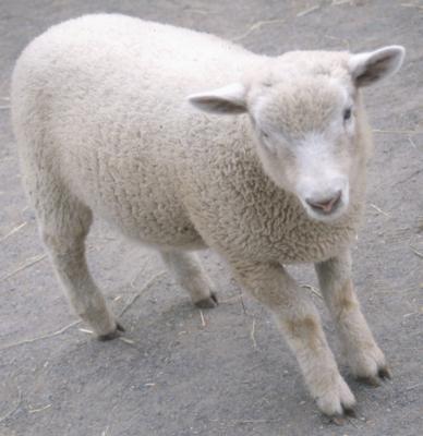Cómo hacer orejas de oveja o cordero con bolas de algodón