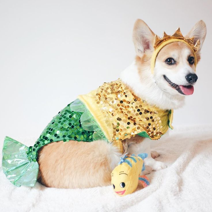 """""""Can this Little MerCorg be a part of your world?  Happy anniversary to #TheLittleMermaid movie! ----- #thelittlemermaidmovie #sneakersthecorgi"""""""