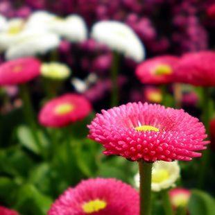 Весенние однолетники Весенний сезон на клумбе начинается с нарядных гибридных фиалок, главным образом анютиных глазок (Viola wittrockiana) и мелкой фиалки рогатой (Viola cornuta) самых различных расцветок. К ним присоединяются белые, красные или розовые вариации маргаритки многолетней (ее выращивают и как однолетник) и ярко-голубая незабудка.
