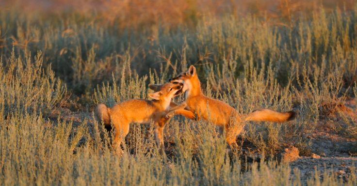 Raposa-vermelhas brincam em seu habitat de 600 mil acres, em Dakota do Sul, USA. As raposas com apenas 30 cm e pesando entre 1,5 e 3 quilos, são os menores canídeos da América do Norte mas estão entre os mais rápidos, chegando a percorrer 40 km por hora. Atualmente estão ameaçadas de extinção, sofrendo com a perda de seu habitat, com armadilhas de caça e envenenamento, que costumam ser destinados a coiotes e cães de pradaria.  Fotografia: Michael Forsberg/National Geographic Creative.