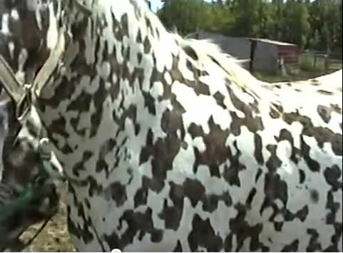 Rare colored horse---now this is a unusual coloring on a horse even for an Appaloosa
