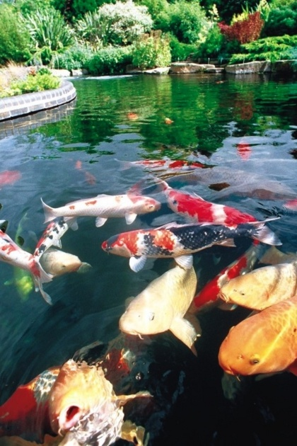 494 best images about koi fish goldfish on for Koi pond tokyo
