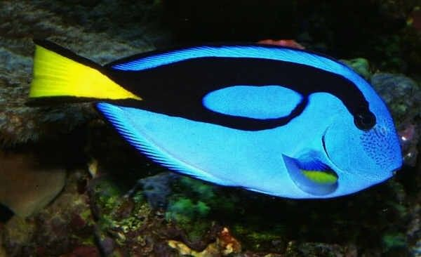 Great Beginner Fish for a Saltwater Aquarium: Blue Tang (Paracanthurus hepatus)