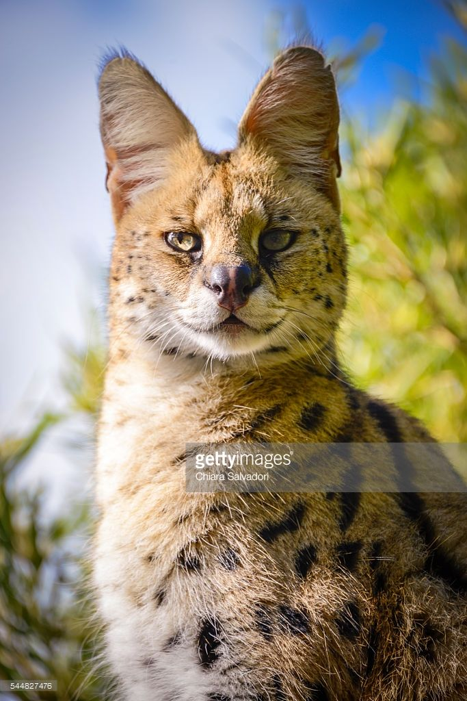 Serval in captivity | Western Cape, South Africa | #stockphotos #gettyimages #print #travel
