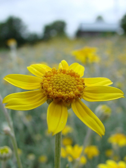 Oxeye Daisy  ~ Nature Conservancy