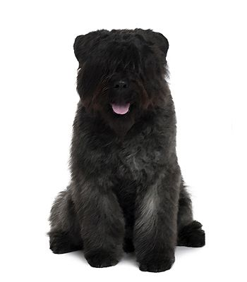 This #dog is a calm, affectionate dog that is loyal and protective, the #Bouvier des Flandres