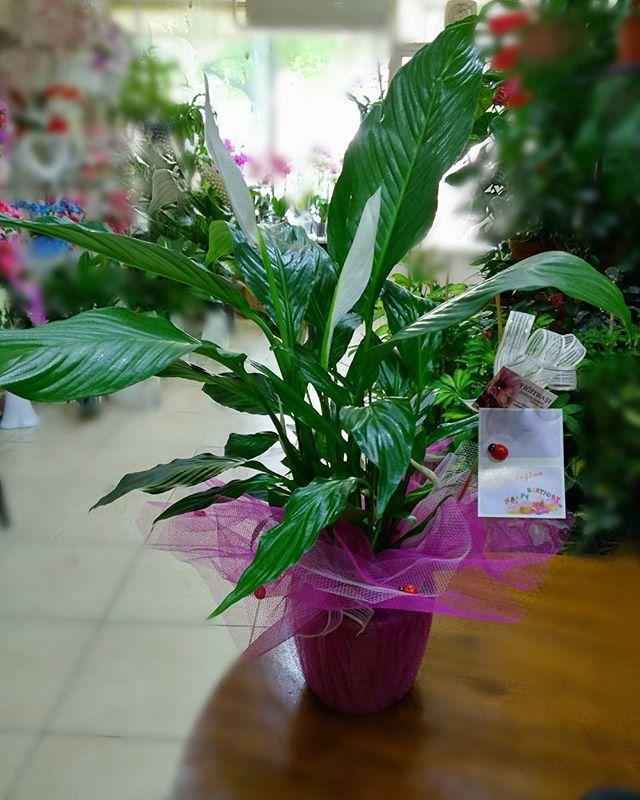 #peacelily #peacelilyplant  #barışçiçeği #spatifilyum #spathyphyllum #isparta #ısparta #çiçekçi #flowerlove #happybirthday #showyoucare #ispartacicekci