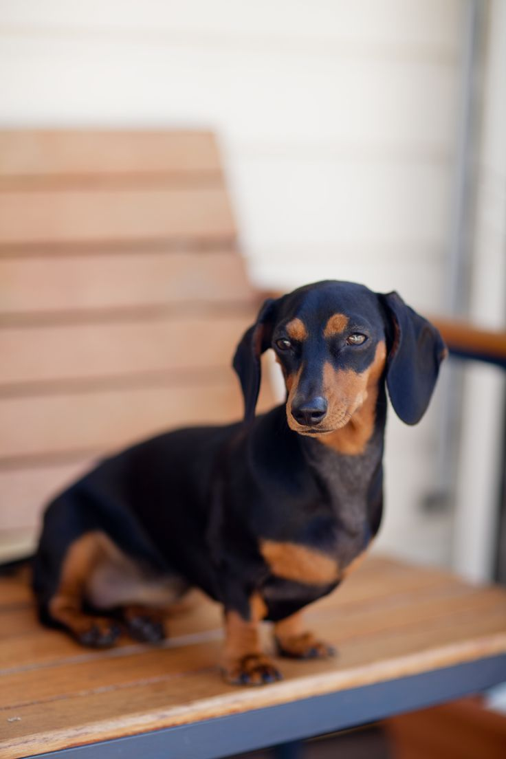 Lyla the black and tan miniature dachshund, doxie, sausage dog