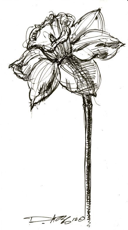 December Birth Flower Tattoo Black And White: 126 Best Flowers Drawing Of Daffodil Images On Pinterest