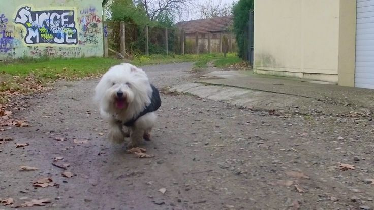 FREE DOWNLOADABLE FOOTAGE // 1080p // 100 fps Coton de Tulear puppy running to the camera when he's called Equipment: DJI Osmo Zenmuse X3 - http://amzn.to/2f...