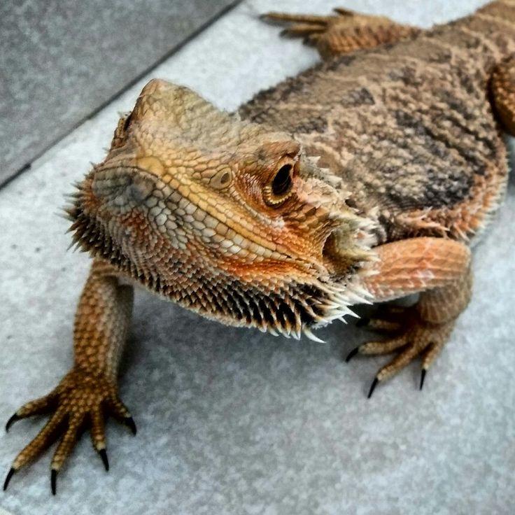 Bearded dragon, pogona