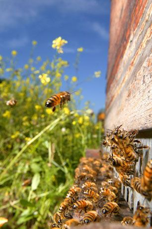 Beautiful photo of bees and hive - I love bees & especially honey!! You know... even bee stings are sometimes good for you :-)