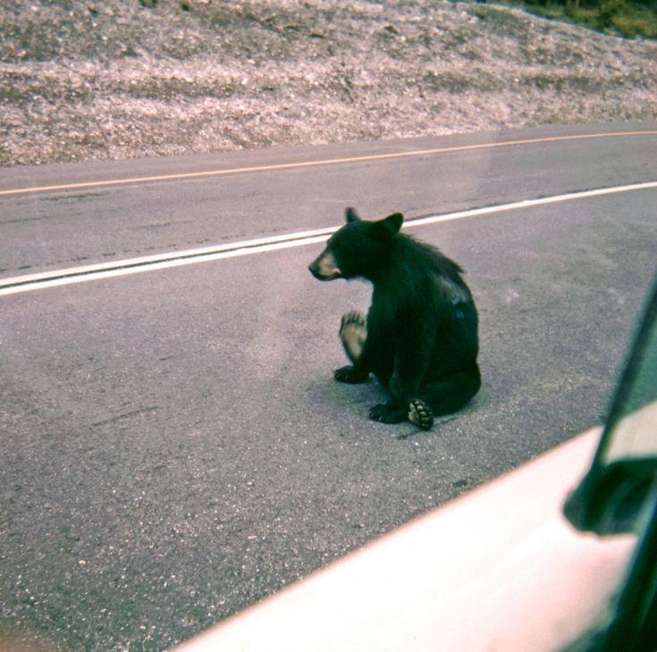 Free image of Black Bear Sitting on Road