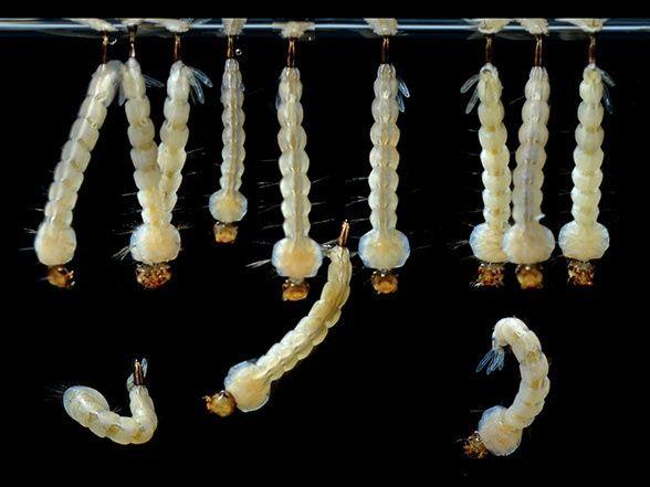 17 Best Ideas About Aedes Aegypti On Pinterest Aegypti