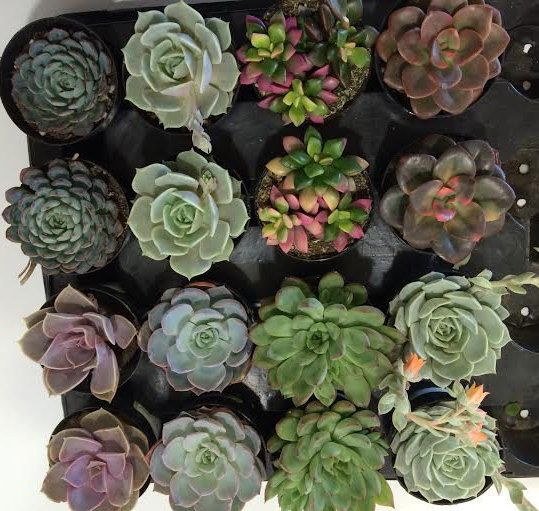 15 Party Pack in 2.5 inch pots