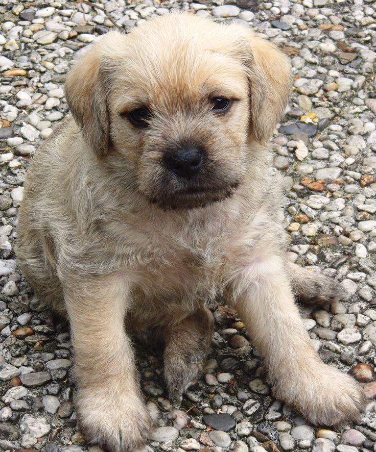 Dutch Smoushond Puppy