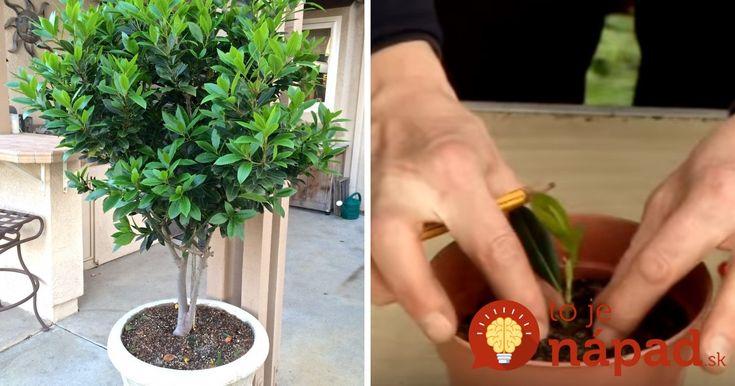 """Vavrín pravý je celoročne zelený strom pochádzajúci zo stredomorského pobrežia. Jeho listy poznáme všetci ako obľúbené korenie """"bobkový list"""", ktoré nechýba hádam v žiadnej domácnosti."""
