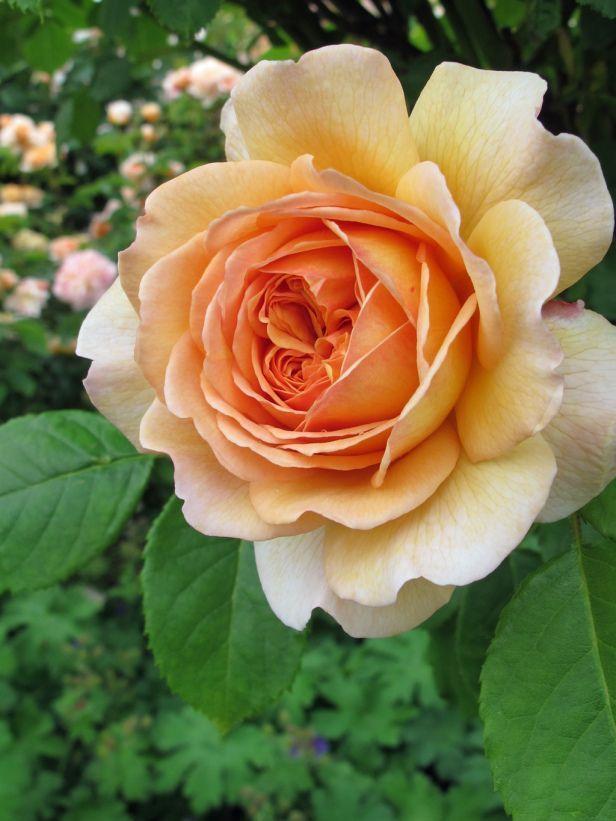 orange English rose