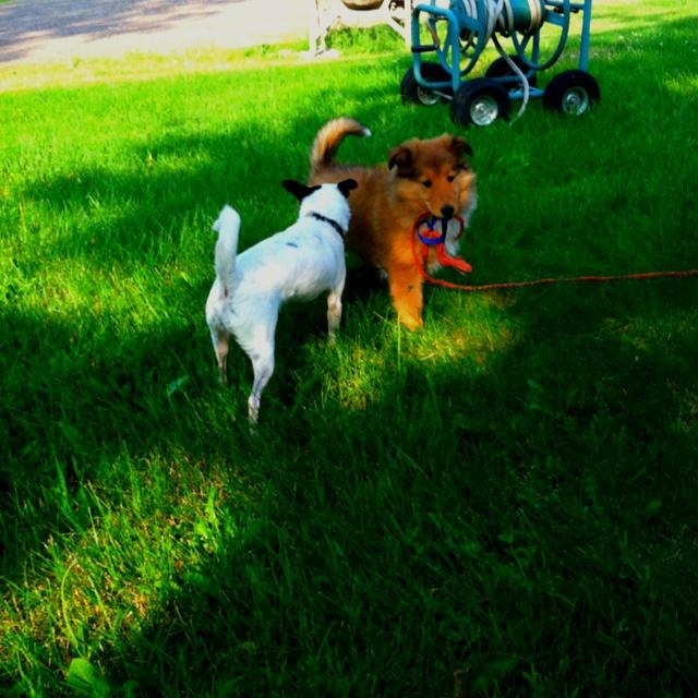 Lola likes leading Barbie our Chihuahua around.