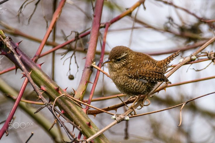 wren in the winter - a wren sitting in the bushes on a cold winters day