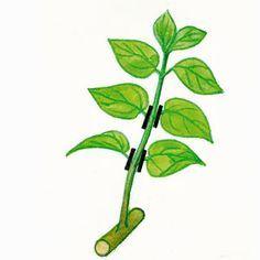 Lilac stekken - Verwijder een deel van het gebladerte