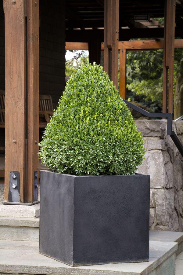 Plants We Love, Petite Pillar Dwarf Boxwood on http://www.hortmag.com