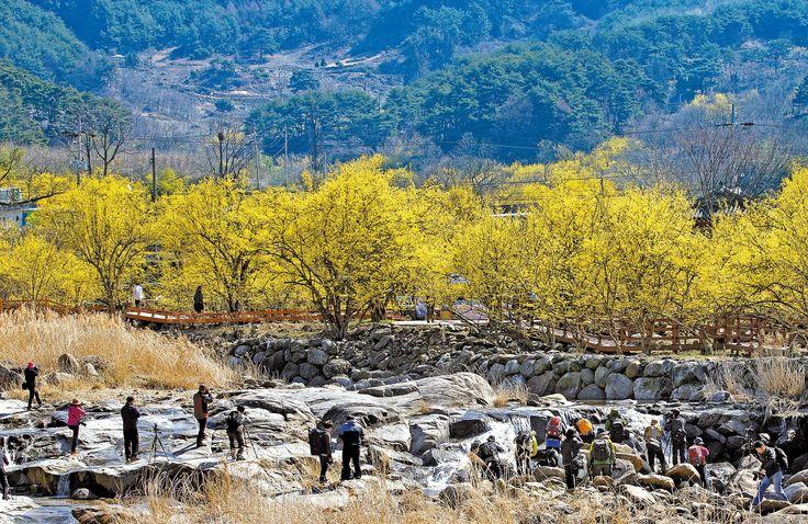 전남 구례 산동면 산수유 마을 Japanese cornlian cherry, Gurye, Korea