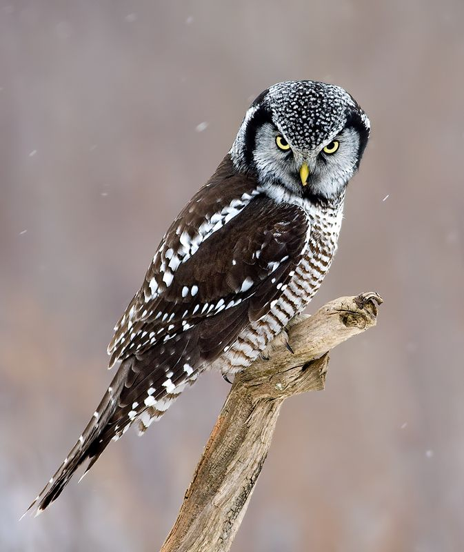 Northern Hawk Owl (Surnia ulula). Photo by Rachel Bilodeau.