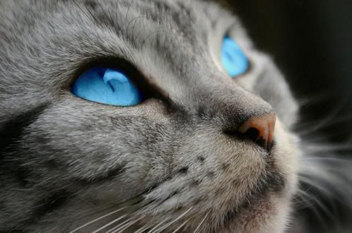 Gray Cat With Blue Eyes | Gray tabby she-cat with ...