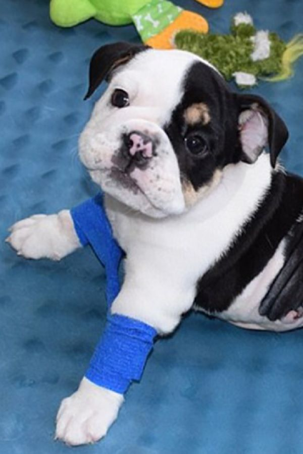 This Is The Story Of A Bulldog Puppy Called Bonsai A Pup With
