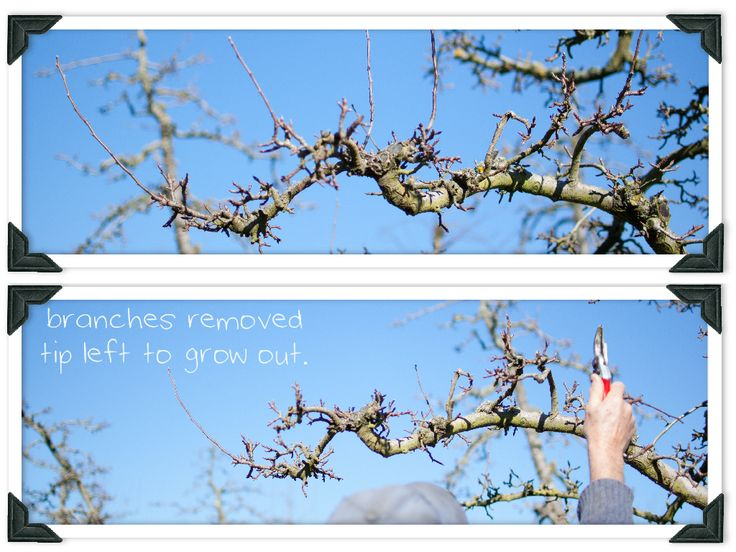 Learn how to prune your apple and pear trees like a professional orchardist in this weeks blog.