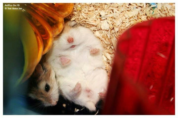 Hamstere